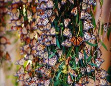 MONARCH BUTTERFLY CHARM AT NATURAL BRIDGES STATE BEACH